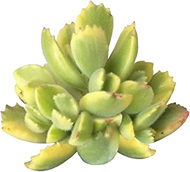 Variegated Bear Paw Succulent Cotyledon Ladismithiensis (2 inch)