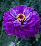 Zinnia Violet Prince-Elegans 50 graines