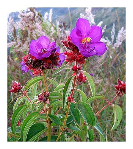Dissotis princeps - Dissotis violet - 10 graines