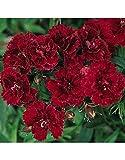 SEEDVALLEY Semillas de Flor roja del Clavel dinastía