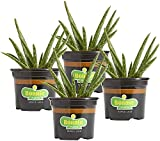 Bonnie Plants 202161 Aloe Vera, Green