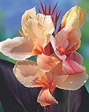 Canna Angel Martin Blumenrohr Rhizom Blumenzwiebeln (1 Canna (Rhizom))