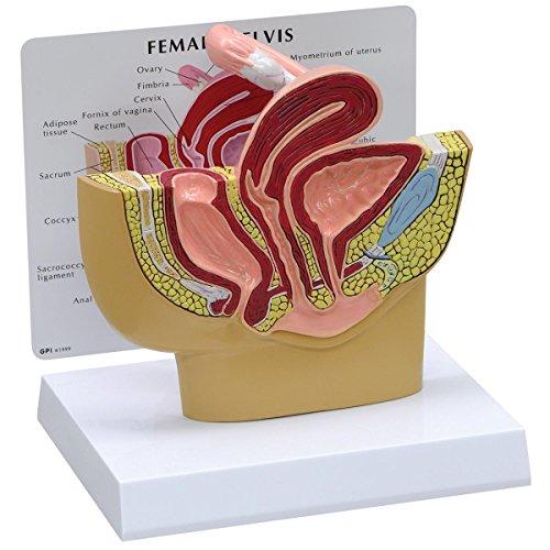 GPI Anatomicals Modelo de pelvis femenina