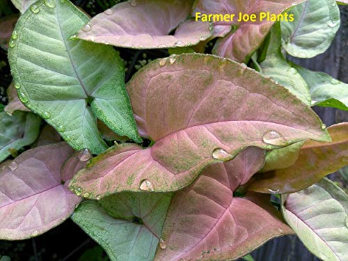 HONIC NEPHTHYTIS - Syngonium -Pfeil Head Plant -Strawberry - 1 LIVE Plant -3