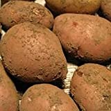 Sycamore Trading Seed Potatoes SARPO MIRA x 20 Tubers. A late main-crop variety reputed to be the most blight resistant available in the UK.