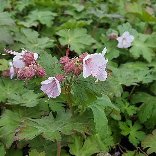 Geranium macrorrhizum 'Ingwersen' - Garten-Storchschnabel 'Ingwersen' - 9cm Topf
