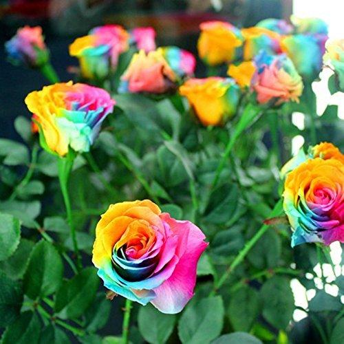 200 pcs/lot colorés Graines de semences Rose Rare Hollande arc-en-Fleur Accueil Jardin Rose Décoration Graines rares de fleurs