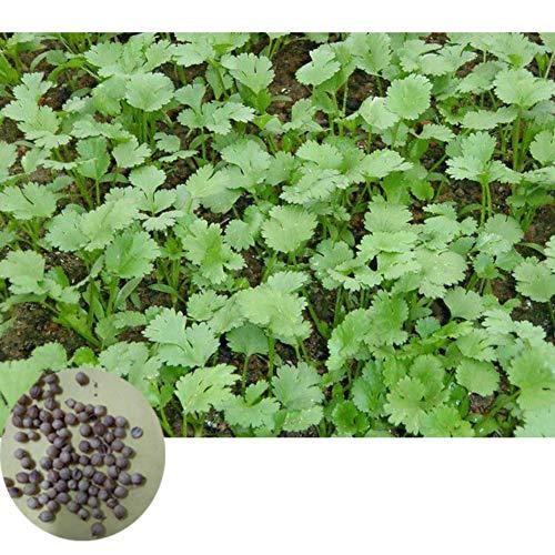 500 Stücke Koriander Samen köstliche Gemüsesamen Garten Pflanzen Samen