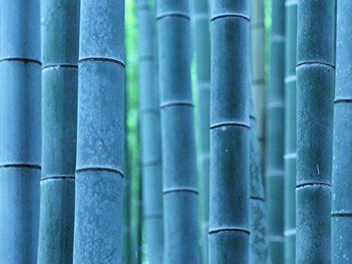 50pcs/sac plantes de bambou bleu, les graines de bambou, graines de bambou Moso, Phyllostachys plante souches nature, bricolage pour la maison et le jardin