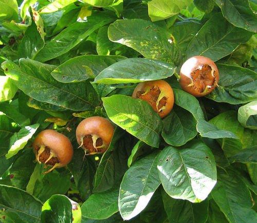 Vistosa níspero, Mespilus Germanica, Árbol 10 semillas (frutos comestibles, color de la caída)