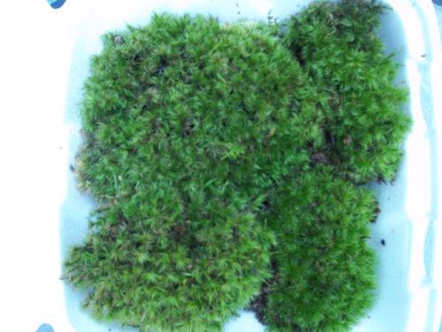 "Fresh Live Frog Mood Moss - 2 to 4"" Plants for Terrarium Vivarium"