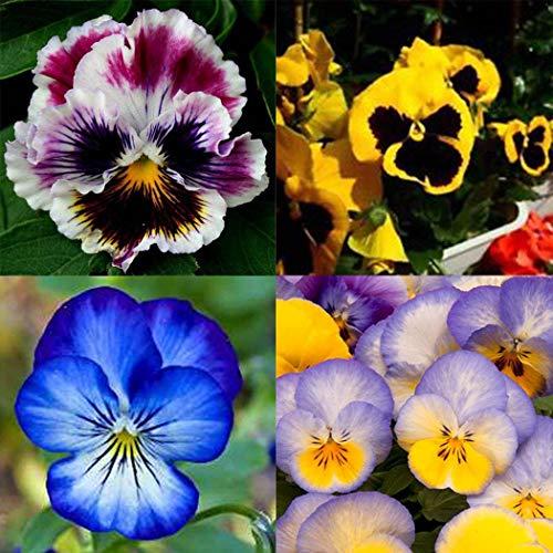 Soteer Garten- 100 Stück Stiefmütterchen Samen Viola arvensis Riesenblumige Prachtmischung Selten Blumensamen Saatgut