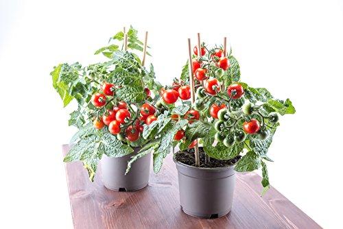 Rote Mini-Tomate \'Tiny Tim\' Zwrg Tomate 20 Samen
