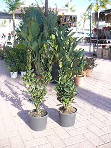Laurus nobilis, Laurel (Maceta 19 cm Ø) - Planta viva - Planta aromatica