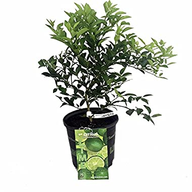 Hirt's Key Lime Tree + Certificate - 6  Pot - NO Ship TX,FL,AZ,CA,LA,HI