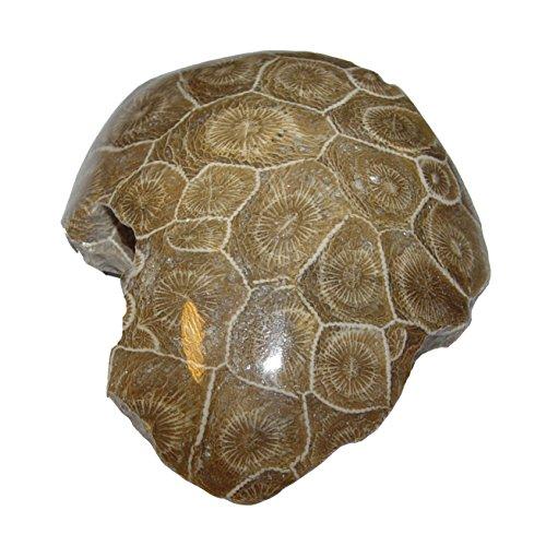 Koralle versteinert auch Petoskey Stein genannt einseitig poliert ca. 40 - 60 mm aus Marokko (4686)