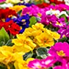 Primula, semi primaverili inglesi mix - Primula acaulis - 140 semi - 140 semi #2