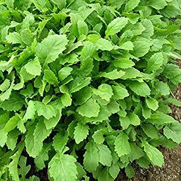 SANHOC Samen-Paket: y Leaf - Wasabi - SEED