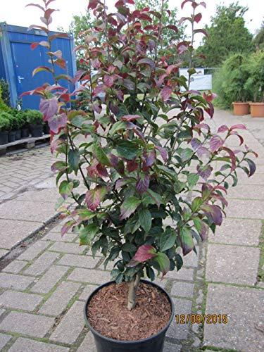 Parrotia persica Persian Spire -...