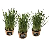 Easy Cat Grass Kit (3 Pack) – Just Add Water. Includes Certified Organic Non GMO Wheatgrass Seed, Fiber Soil, Cups, Chalkboard Labels & Chalk. Your Pets Will Love This.