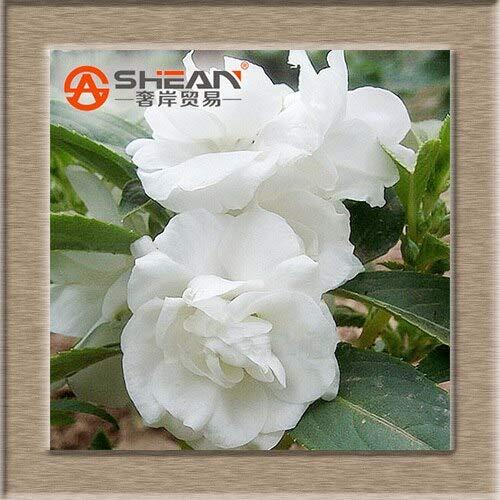 CUSHY Seeds: 10 Arten von Kategorien Lila Camellia Balkon Topf Bonsai Blumen-Kamelie Balsamine A-Pack 100 Stück: 2