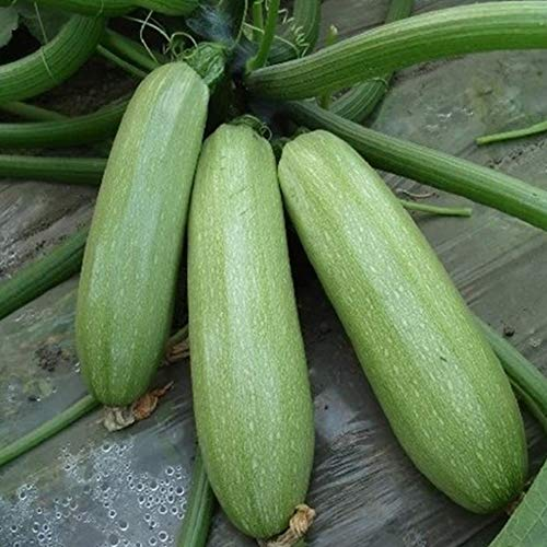 junshi11 30Pcs Summer Squash Zucchini Seeds Vegetable Home Farm Annual Temperate Planting,Indoor Outdoor Decoration Garden Gifts (Squash Zucchini)