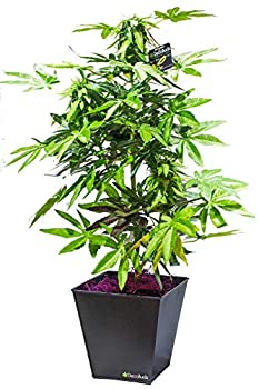 weed plants buds
