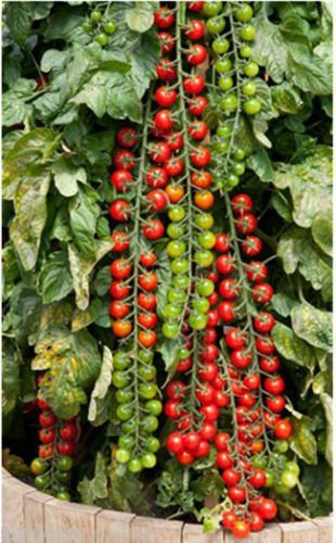 Seedscare Vegetable Cherry Tomatoes Seeds (Pack of 50 Seeds)