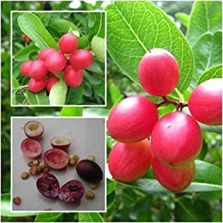 Best natal plum seeds Reviews