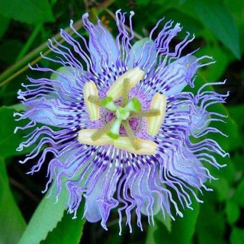 10 Rare Blue Passion Graines de fleurs Escalade Passiflora Exotic Tropical vigne Plante