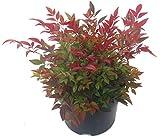 Nandina domestica 'Gulfstream'-Scheinbambus, Himmelsbambus - winterharter, wintergrüner, Zwerg- Strauch 17 cm Topf Kübelpflanze - Beetpflanze