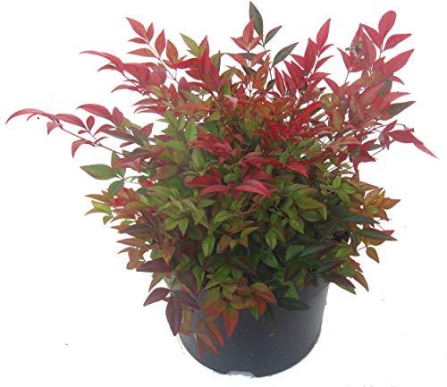Nandina domestica \'Gulfstream\'-Scheinbambus, Himmelsbambus - winterharter, wintergrüner, Zwerg- Strauch 17 cm Topf Kübelpflanze - Beetpflanze