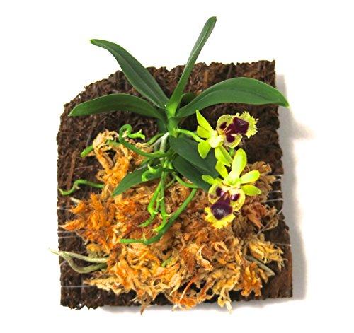 Miniature Orchid: Haraella retrocalla with Flower Spike, Tree Fern...