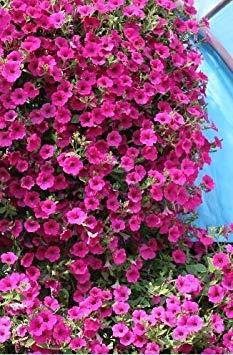 VISA STORE La mejor petunia de arrastre de la semilla. Las intensas flores de color violeta-púrpura son impresionantes en cestas colgantes, un mejor desempeño que las petunias Surfinia plante