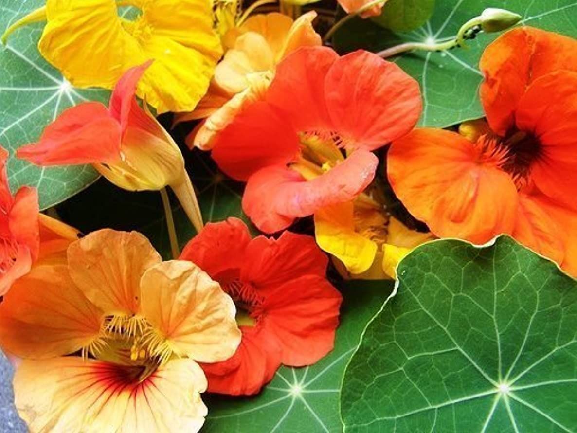 Legend Online Garden Seeds Flower Nasturtium Tall Mixed D1114NAS (Multi Color) 50 Open Pollinated Seeds