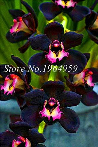 Shopmeeko Graines: Bonsai Multi-couleur de la fleur d'orchidée Fleurs 100 Pcs Potted/Mixed Bag Cymbidium Faberi Balcon Plante en pot pour jardin: 4