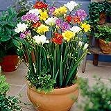 Semillas de flores, 1 bolsa Semilla de fresia No latente Alta tasa de germinación Mixcolor Semilla de flores portátil para jardín para regalo de flores de jardinería ideal