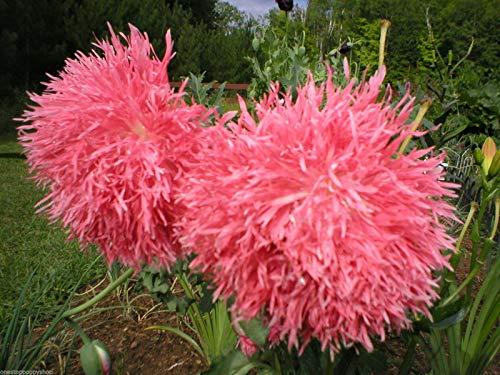 SANHOC 200 Blumensamen Venus Doppel-Pfingstrose Mohn Papaver paeoniflorum # 62