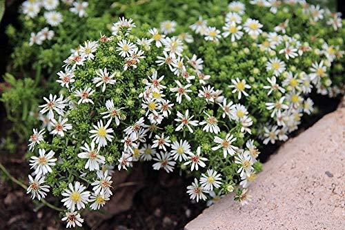 HOCH KEIMUNG Seeds Nicht NUR Pflanzen: Schneegestöber - Aster ericoides - Fall Blooming - Gallon Seed