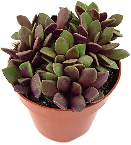 zimmerpflanze rot grüne blätter