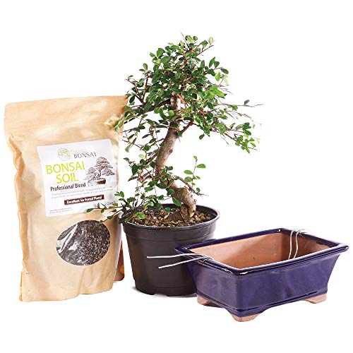 Brussel's Bonsai Live Chinese Elm Outdoor Bonsai Tree PIY Bundle - 8 Years Old 8' to 10' Tall with Soil & Decorative Container, Medium
