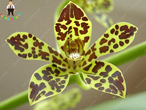 100pcs 20 types d'orchidées Graines vivaces Fleurs Plantes ornementales en pot Bansai Semences pour balcon et cour plante jardin Plum Diy