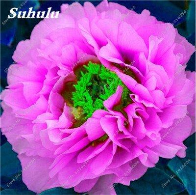 10 Pcs Pivoine graines, semences Potted extérieur, Bonsai Flower Seed, Variété complète, facile à cultiver, d'ornement-plantes pour jardin 20