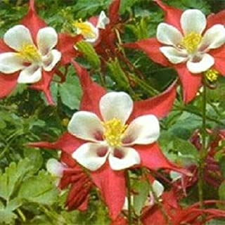 100 Columbine Seeds Crimson Star Seeds Perennial Flower Mb003