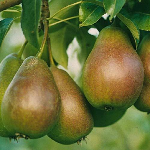Gute Luise Birne Birnenbaum Obstbaum 120/150 cm Herbstbirne süß säuerlich