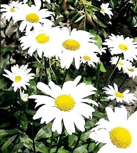Potseed 1500 graines: Shasta Daisy Giants Mayfield Vivace Chrysanthème - 375 750 1500 Graines de Fleurs