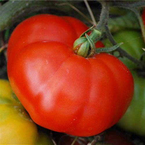 10 graines de tomate rouge marmande gros fruit potager légume semence potager