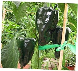 TZAA 30 Seeds Mulato Isleno Pepper Chocolate Hot - RK168
