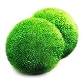 Bola gigante de marimo de 3,8 cm a 5 cm y una bola pequeña.Perfectas para acuarios y estanques, decoración para peceras