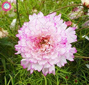 100pcs Rare Bonsai Double Cosmos Graines de fleurs vivaces plantes à fleurs en pot pour jardin Facile à cultiver 2